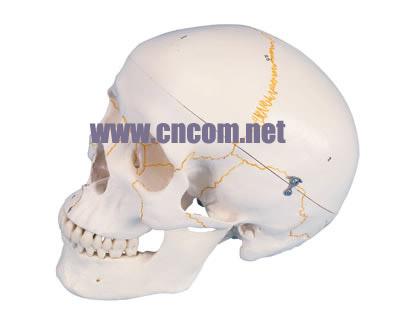 德国3B人体解剖模型 标号经典头颅模型 M323943
